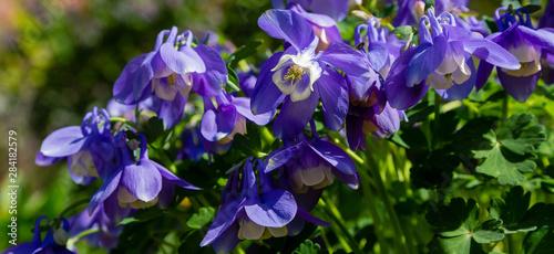 Fotografie, Obraz Aquilegia coerulea in spring garden