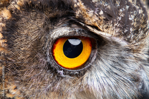 Birds of Prey - Eurasian Eagle Owl Wallpaper Mural