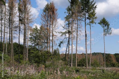 Fototapeta Vertrocknete Bäume im Westerwald im August 2019 - Stockfoto obraz na płótnie