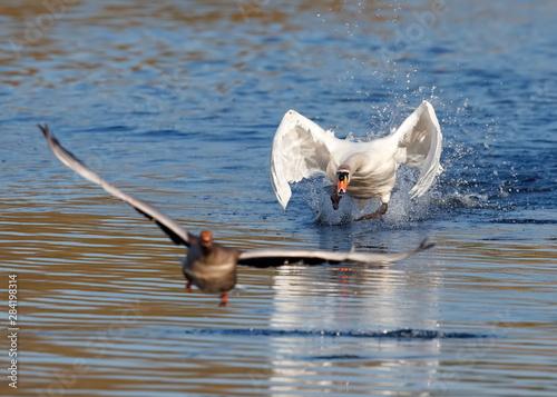 Fotografia, Obraz mute swan chasing greylag goose