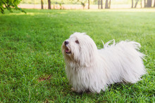 Coton De Tulear Dog On A Grass Field