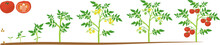 Life Cycle Of Tomato Plant. Gr...