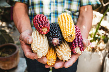 Mexican Corn, Maize Dried Colorful Corn Cobs On Mexican Hands In Mexico
