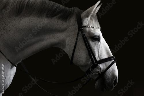 Fototapety, obrazy: Dressage Horse