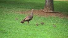 Wild Turkey Hen W Baby Chicks Poults Grass