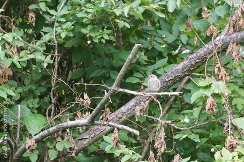 Recess Fitting Chameleon Ptak ,ptak na gałęzi ,pleszka ,młody ptak