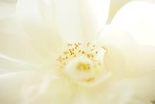 White Rose Macro Photo With St...