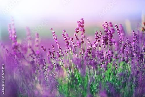 Photo  Lavender.