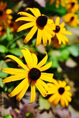 Obraz na plátne Yellow rudbeckia fulgida Black-eyed Susan flowers