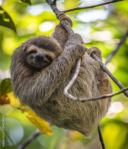 Fotografie, Obraz Sloth in Costa Rica