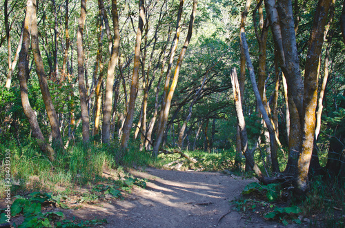 A hiking trail as it runs through the thin and thick forest trees.