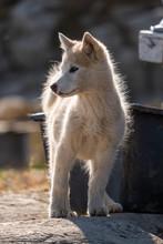 Cute Little Greenlandic Husky ...