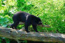 A Spectacled Bear (Tremarctos ...