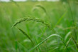 juWeeds in rice fields Pests that are difficult to eliminate Spread in rice fields of tropical monsoon areas, Southeast Asia, Thailand, Myanmar, Laos, Vietnam, Cambodia, Malaysia,ngle rice, birds rice