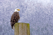 Bald Eagle Perched On Cut Log In Winter, Profile View.