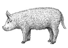 Mangalica Pig Illustration, Dr...