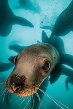 Steller Sea Lions Underwater N...