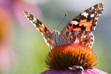 Painted Lady Batterfly (Vanessa Cardui) On The Purple Coneflowers In Iowa's Pairie