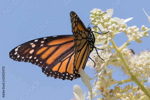 Monarch butterfly (Danaus plexippus) perched on white hydrangea flowers, Iowa
