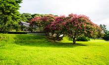 광주광역시 포충사의 배롱나무꽃