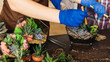 canvas print picture Home gardening master class. Closeup of hands using shovels to pour gravel into glass vases with succulents.