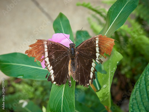 A Rusty-Tipped Page Butterfly on a leaf, Siproeta epaphus at a Butterfly Farm in the St Andrews Botanic Gardens, Fife, Scotland Canvas Print