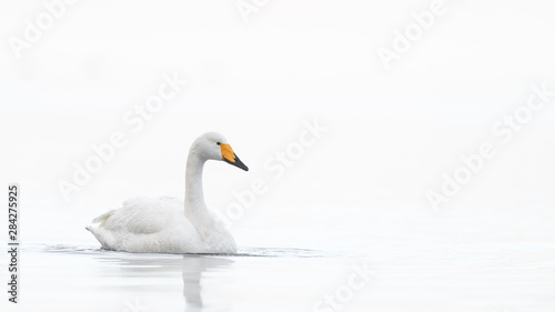 Cadres-photo bureau Cygne whooper swan in a white fog background portrait