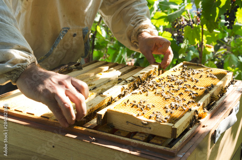 Poster Bee Process of inspecting brood nest befor autumn. Beekeeper standing near the beehive and taking out the brood frames