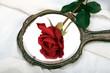 Red Rose. Symbol of love.