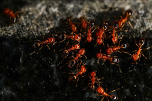 Red Ants On The Black Granite Surface