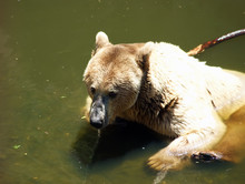 Brown Bear Swims In The Lake In Summer.