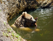 Brown Bear Swims In The Lake In Summer. Brown Bear Swims In The Lake In Summer.