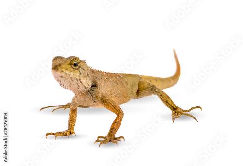 Pinturas sobre lienzo  chameleon isolated on white background