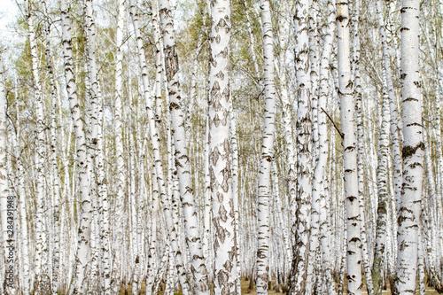 Bosquet de bouleaux White birch trees forest background, spring.