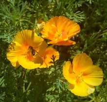 Bee On Escholzia