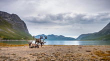 Reindeers On The Mountains And Sea Background. Landscape Of North Norway Fjord With Reindeers