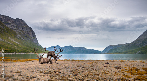 Obraz Reindeers on the mountains and sea background. Landscape of North Norway fjord with reindeers - fototapety do salonu