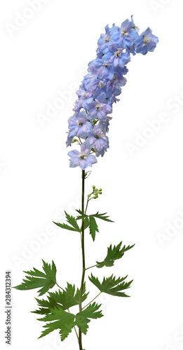 Fényképezés Beautiful blue delphinium flower isolated on white background
