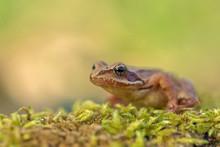 Young Frog - Rana Temporaria O...
