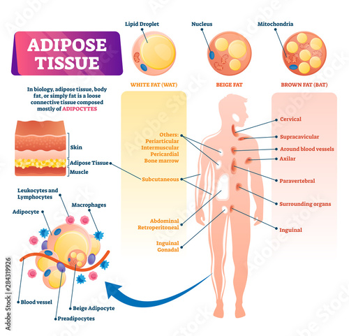 Photo Adipose tissue vector illustration