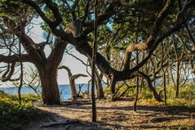 Selective Focus Of Gnarled Windswept Live Oak Trees On Ocracoke Island, North Carolina, Where Blackbeard The Pirate Was Captured And Hanged