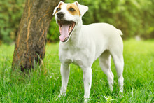 Jack Russell Terrier Yawns While Standing In A Park