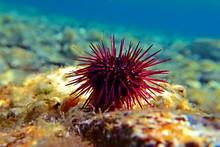 Paracentrotus Lividus - Colorful Mediterranean Sea Urchin In Underwater Scene