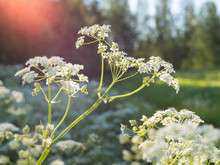 White Cow Parsley Flowers