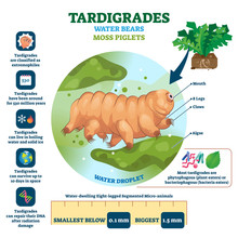 Tardigrades Water Bears Vector Illustration. Labeled Described Moss Piglets