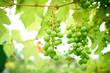 Leinwanddruck Bild - Ripe grapes on branch with leaves in wine region