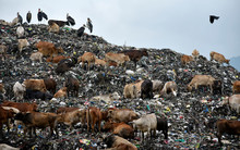 Cattle On A Pile Of Garbage Dump