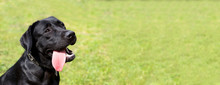 Black Labrador Sits On The Grass And Waits For A New Team From The Owner. The Dog On The Walk