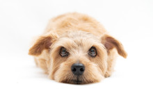 Norfolk Terrier Dog Isolated O...