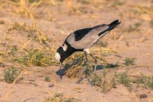 Botswana. Chobe National Park. Savuti. Blacksmith Lapwing (Vanellus Armatus).